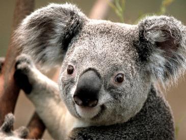 Koala Conservation